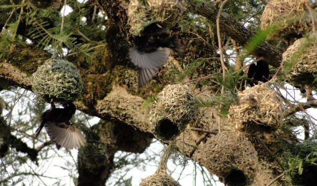 Weefvogels maken deze prachtige nesten helemaal zelf.