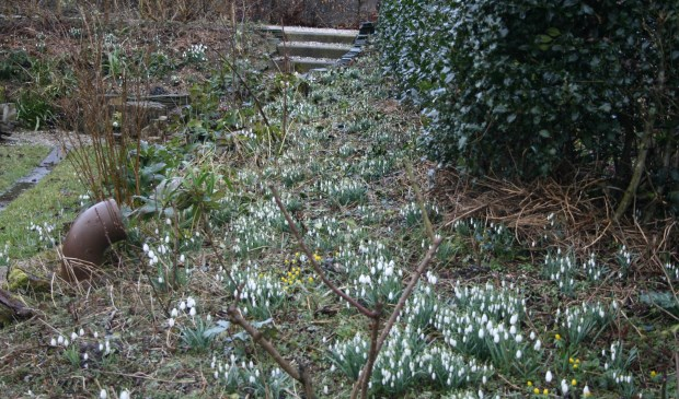 In de tuin van Wim en Marianne Baas is een zee aan sneeuwklokjes te bewonderen.