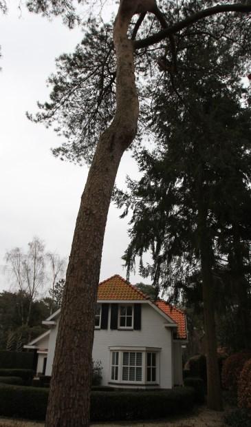Twee Douglas-bomen naast de zijgevel van het pand mogen niet gekapt worden.
