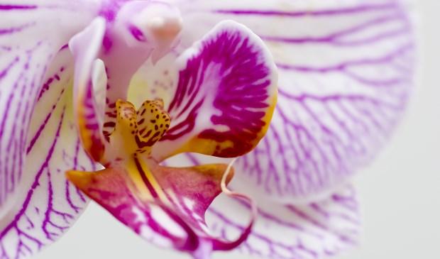 Een foto van 'Orchideeën für Elise' van lid Sijt de Bie.