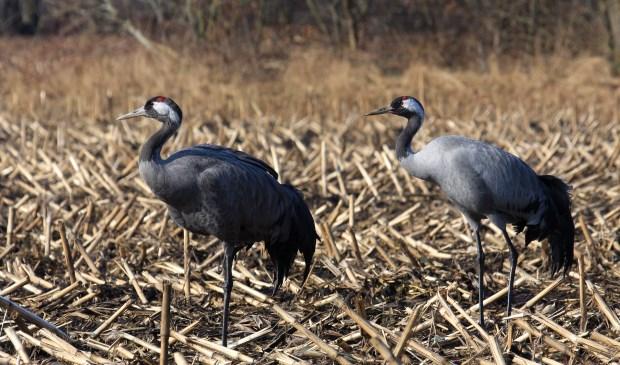 Kraanvogels verkennen een potentiële broedplaats.