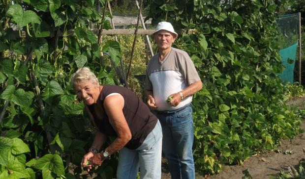 Adrie en Huib van der Velden aan de bonenpluk.