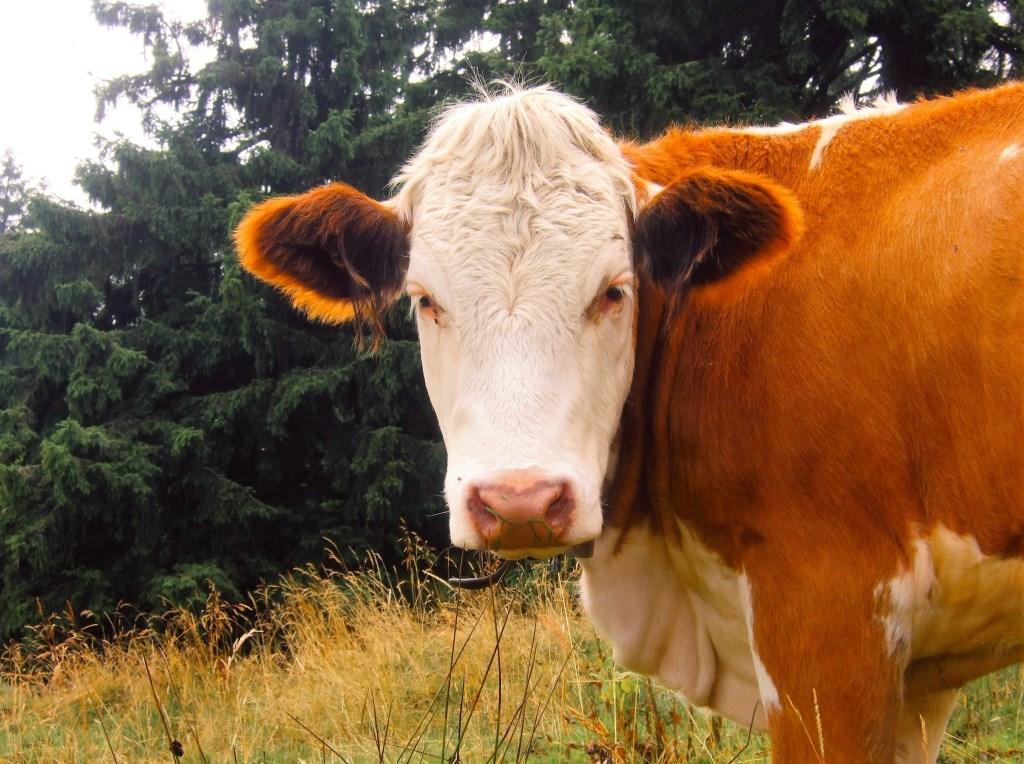 Een koe in de wei.  © De Vierklank