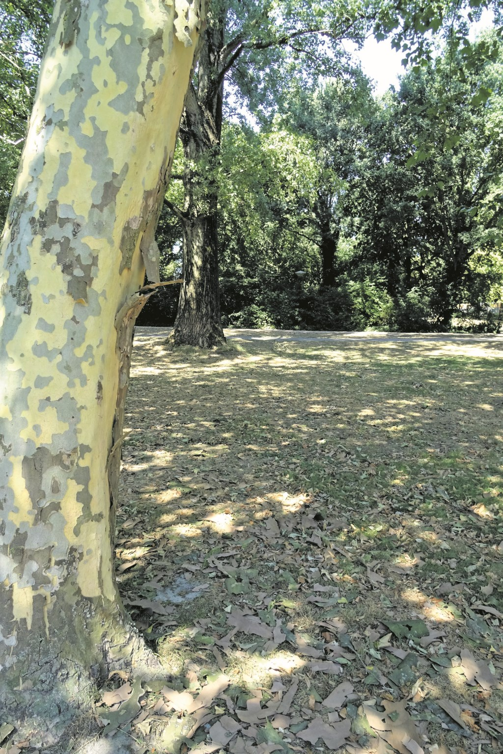 Door de warmte laat de Plataan zijn bast vallen. Het lijkt of de boom ziek is maar het is een overlevingsmechanisme. Foto: KD © De Vierklank