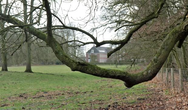 'Doorknikkende' takken van de witte paardenkastanje met doorkijk naar huize Houdringe. (foto Wim Westland)