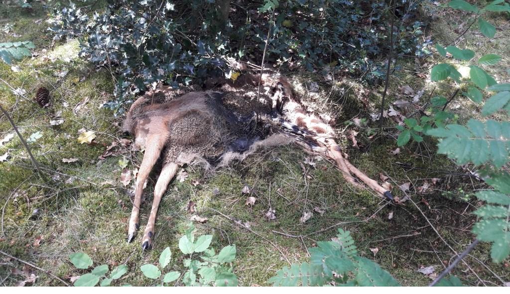Foto van een door hond of honden doodgebeten ree (foto Lex van Boetzelaer).