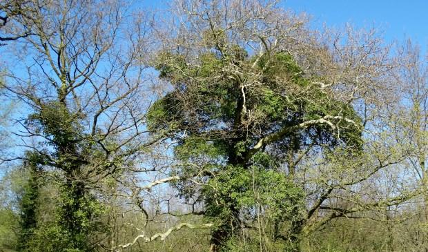 Met klimop overwoekerde bomen blijven sterk.
