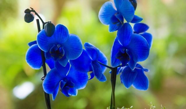 • Een orchideesoort, niet de Mei Orchis.