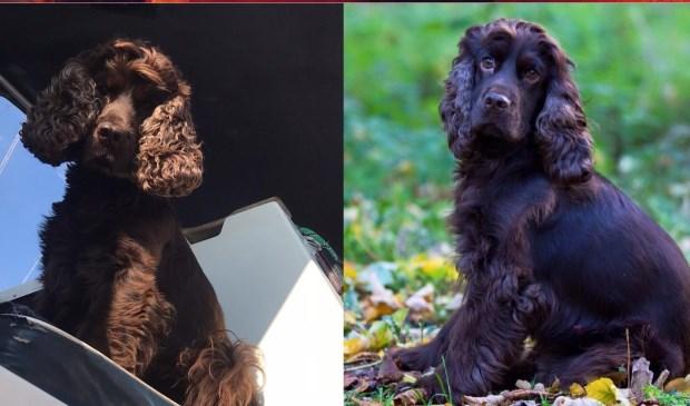 • Ollebol is de hond van Gerrine Fernhout uit Zaltbommel.