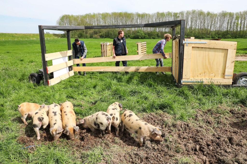 Varkenstractor voor Bommels Bakhuys Foto: Lya Cattel © Bommelerwaard