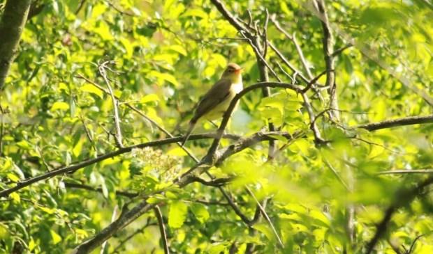 • De orpheusspotvogel in Park Huis te Kinderdijk Alblasserdam.