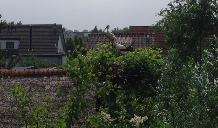 • Het nest aan de Liesveld in Giessenburg.