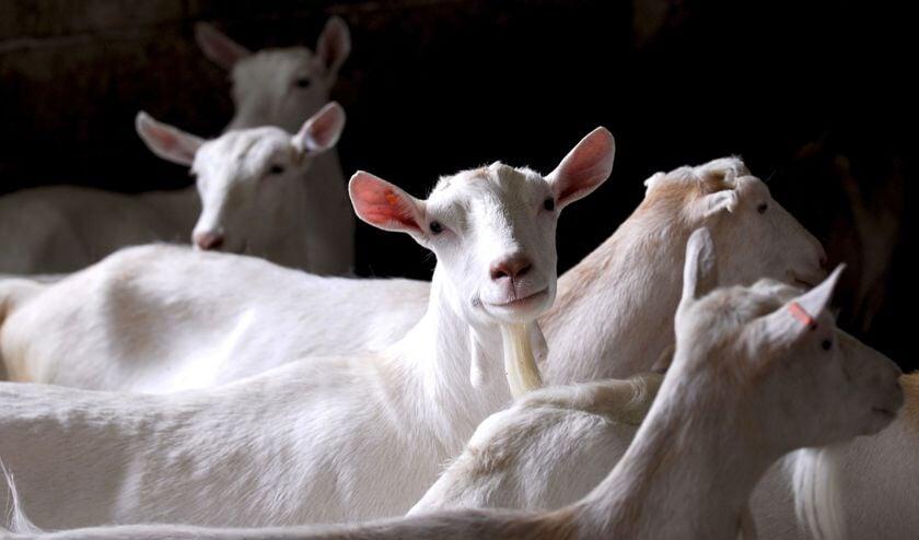 • Het RIVM concludeerde na onderzoek dat mensen in de omgeving van geitenboerderijen meer kans hebben op longontsteking.