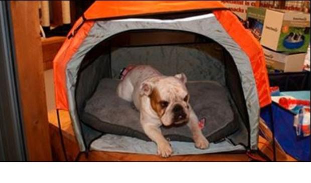Bulldog Fredt mag mee op vakantie