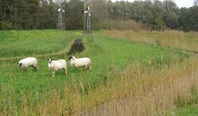 Schapen (Schoonerbeeker Heideschaap) lopen nog in het poldertje en eten het gras kort. Foto: Tilly Kester