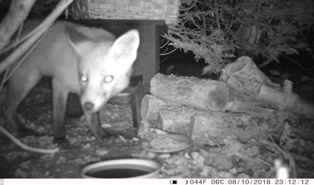 De vos doet zich tegoed aan het voer in de achtertuin van een bewoonster van de Tulpentuin (eigen beelden).