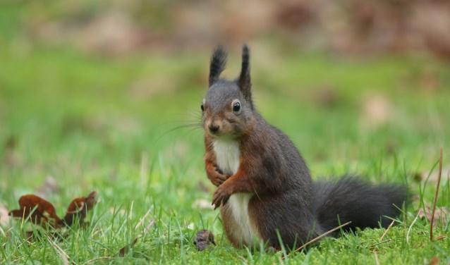De rode eekhoorn kan donker gekleurd zijn. (Foto: Peter Elfferich)