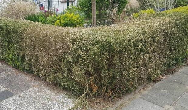 Een voorbeeld elders van flinke buxusmot schade. Foto: Ria van der Poel