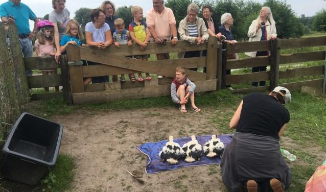 Op de grond werden de ooievaars gemeten en gewogen en kregen een ring om hun poot met een nummer (foto: www.haagsevogels.nl).
