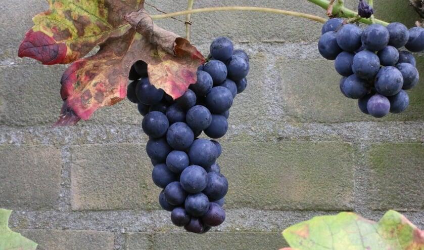 Tegen de zonnigste muur van ons huis groeien druiven. (foto: Caroline Elfferich)