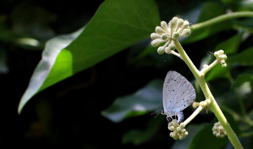 Boomblauwtje zet eitje af op knop van klimop (foto: Peter Elfferich)