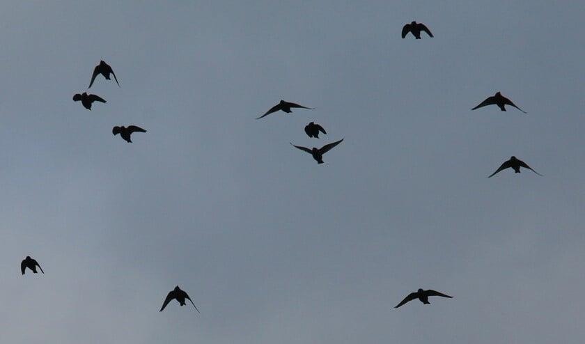 Overtrekkende spreeuwen (foto: Peter Elfferich)