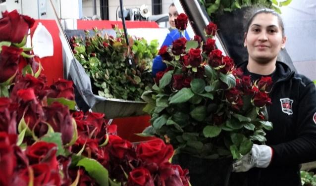 Aneta werkt met veel plezier in de moderne rozenkwekerij en laat trots de 'liefdesroos' zien.