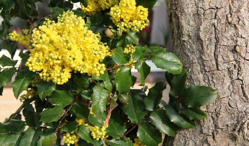 De mahonie heeft zoetgeurende gele bloemen (foto: Caroline Elfferich)