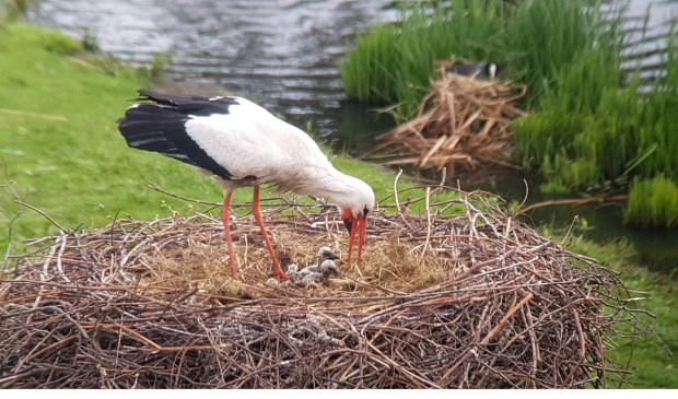 Foto: Caroline Walta - vrijwilliger Haagse Vogelbescherming   Stichting Ooievaars Research & Knowhow