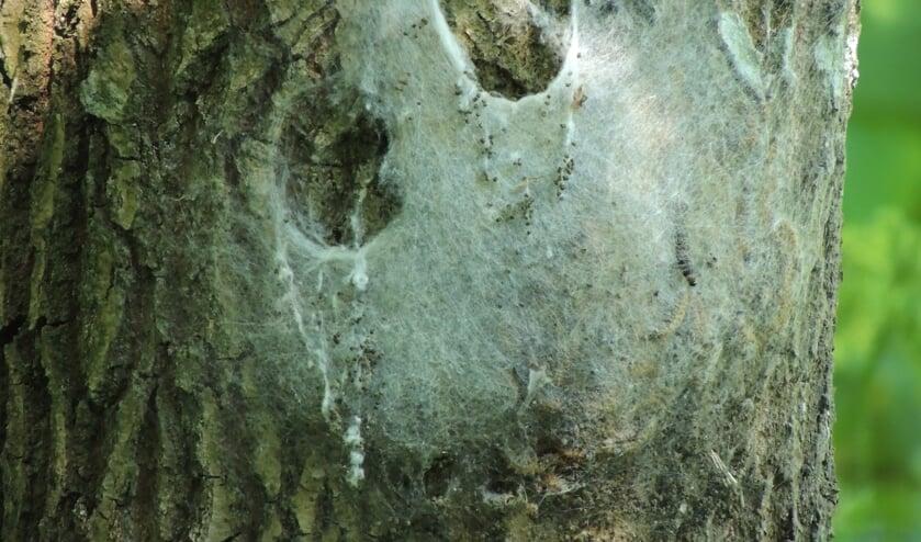 Nest van eikenprocessierupsen aan de stam van een eik. (Foto: Annette Stolk)