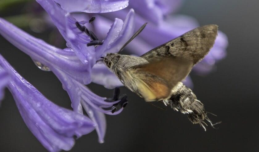 Kolibrievlinder drinkt nectar uit agapanthus bloem. (foto: Petra van der Zande)
