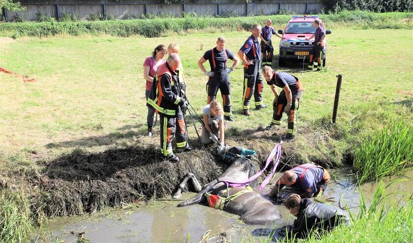 Voordat het dier uit het water wordt getrokken worden eerst de banden op zijn plaats gebracht (foto: Regio15/Koen Jongen).
