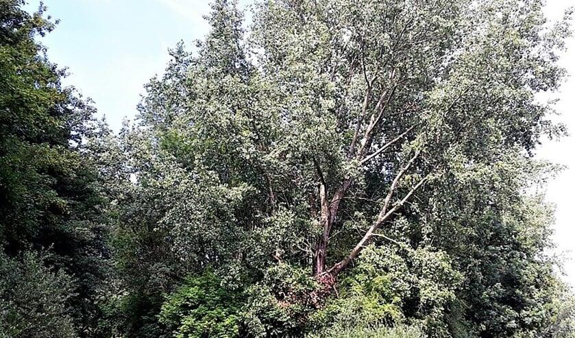 Aangetaste bomen in recreatiegebied Vlietland (foto: Staatsbosbeheer).