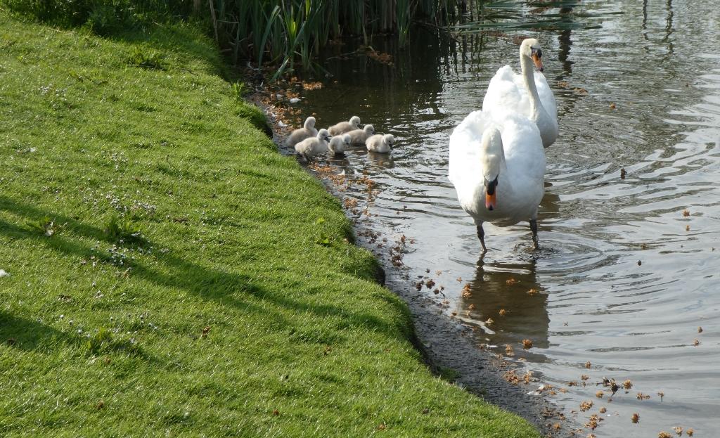 De zwanenfamilie in betere tijden... Foto: Dick Muijs  © Telstar Uitgeverij B.V