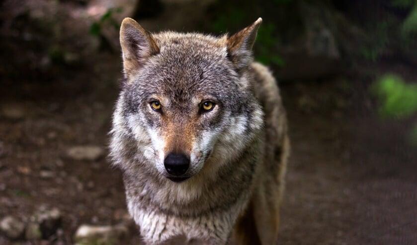 Foto ter illustratie. Dit is niet de wolf uit het bericht.