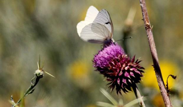 Vlinders staan centraal in een minicursus vsn IVNG Geijsteren-Venray. Foto: Wim de Graaf.