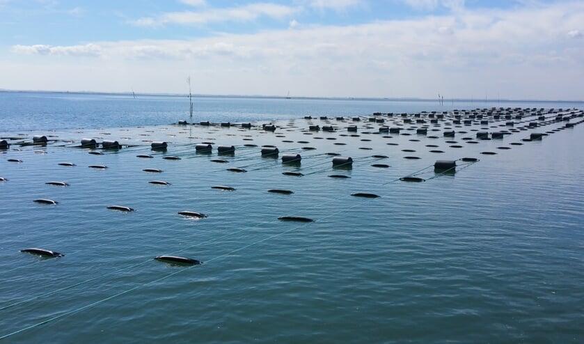 Een zeewierakker, onder water zitten de lijnen waaraan het zeewier groeit. Foto: Seaweed Harvest Holland