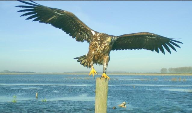 De imposante zeearend is te zien bij het Volkerak. Foto van de webcam.