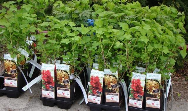 De kinderen van kinderdagverblijf 't Bikkeltje hebben deze fruitbomen geplant samen met wethouder Hans Heddes.