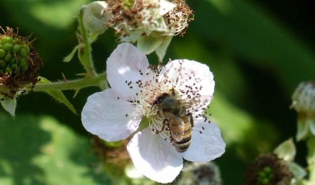 Bijen zijn heel belangrijk voor de biodiversiteit.