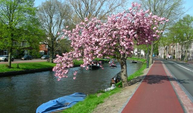 Een van de bekendste bomen in Haarlem. Prachtig in bloei.