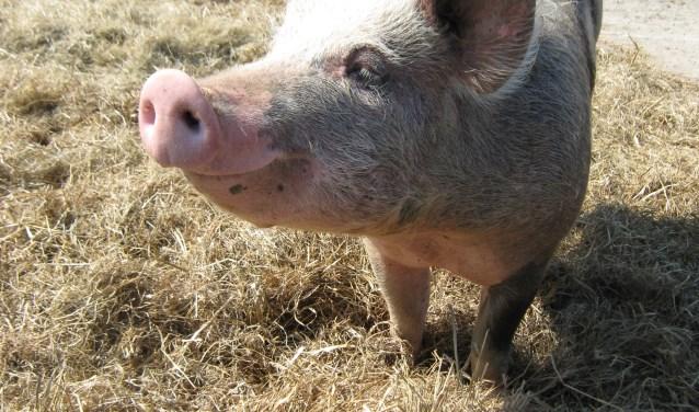 Een van de boerderijdieren is het scharrelvarken.