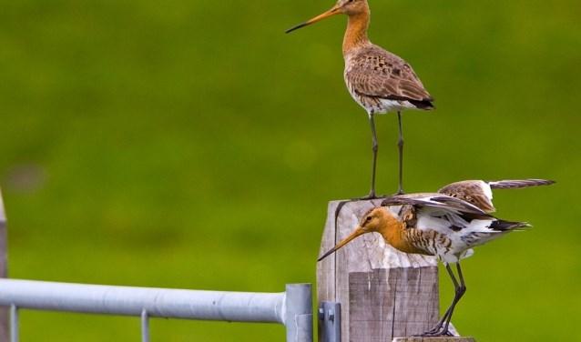 Grutto's op een hek in de polder.