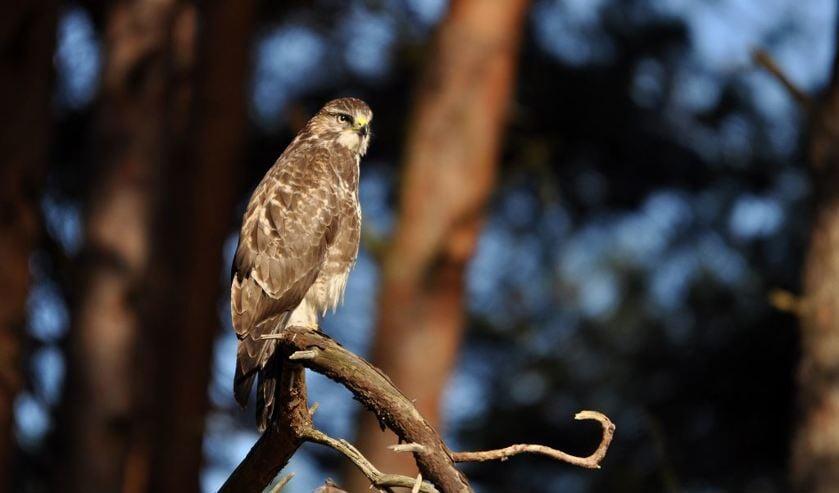 Roofvogelexcursie in de Schoorlse Duinen.