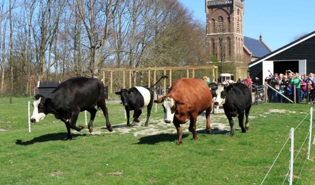 De koeien zijn blij dat ze weer de wei in mogen.