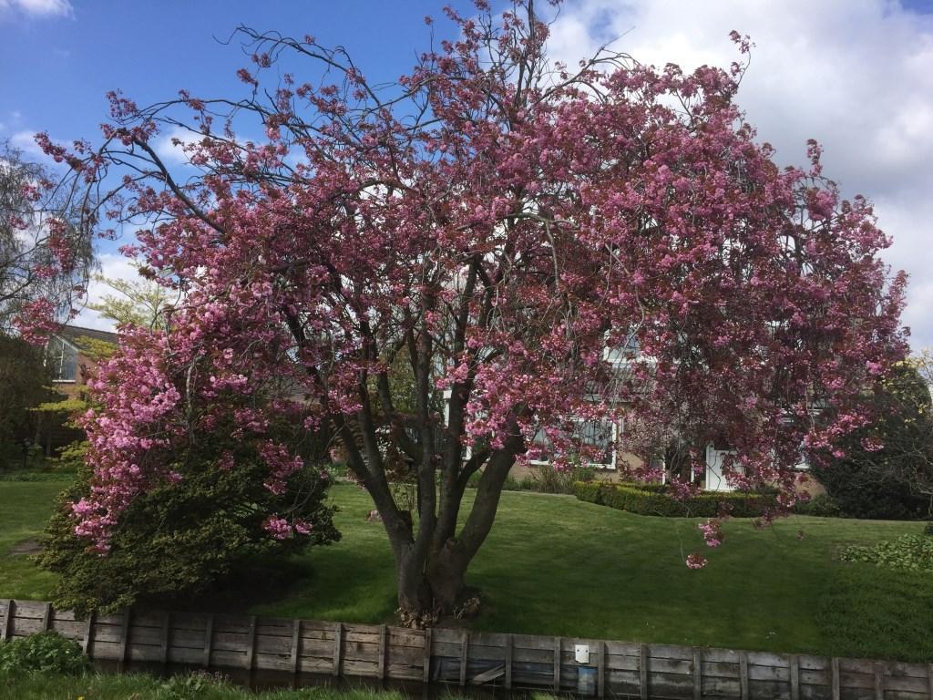 Een lentebloesem vol in bloei.  (Foto: Anke Steffers) © rodi