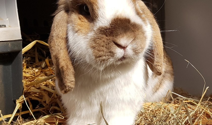 Herman is een leuk konijn dat een gezellig vriendinnetje zoekt. Wie biedt hem een gezellig thuis aan.