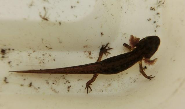 Op zoek naar salamanders.