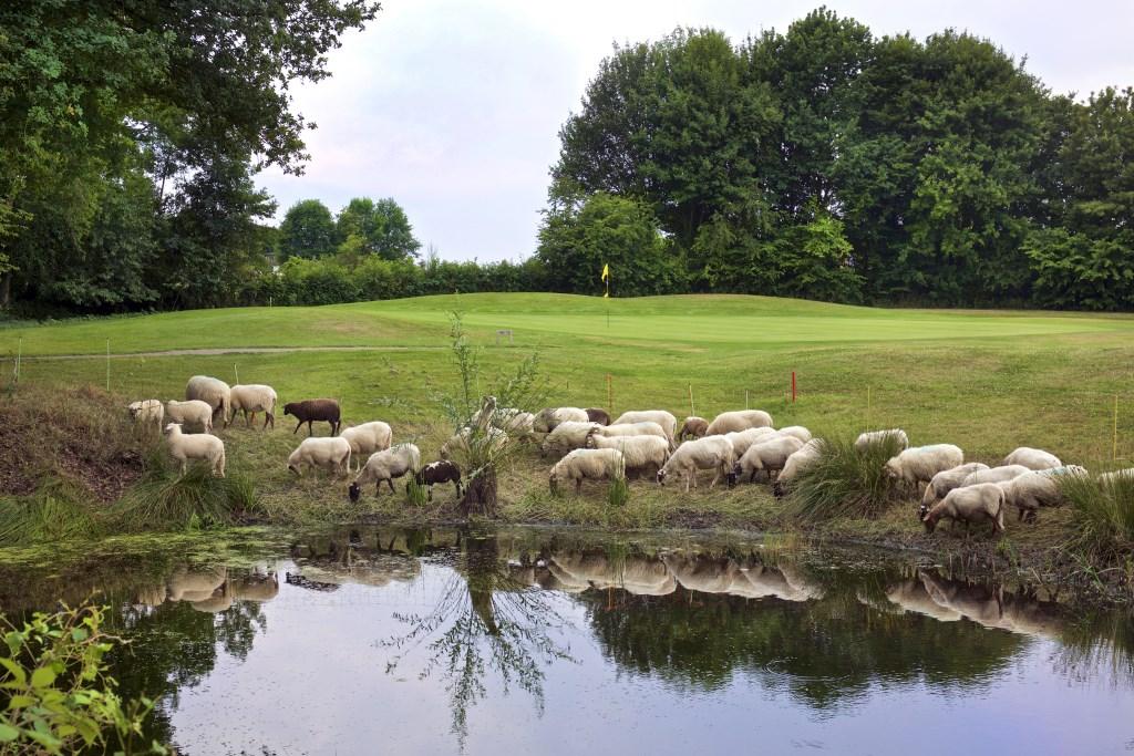 Schapen op Wittem dragen bij aan het natuurlijke beheer.  © rodi