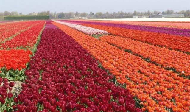 Doe mee met de Tulpenwandeltocht en steun IJsclub Andijk.